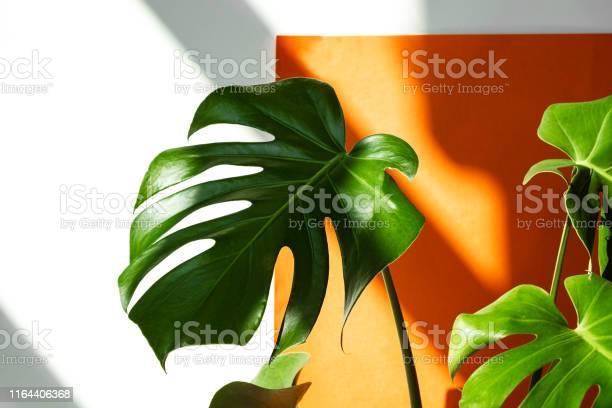 Monstera in the sun beautiful combination of colors green white of picture id1164406368?b=1&k=6&m=1164406368&s=612x612&h=ubb3fx95cb0gi258rwmupoyv9euugjw0ihwywnsyrv0=