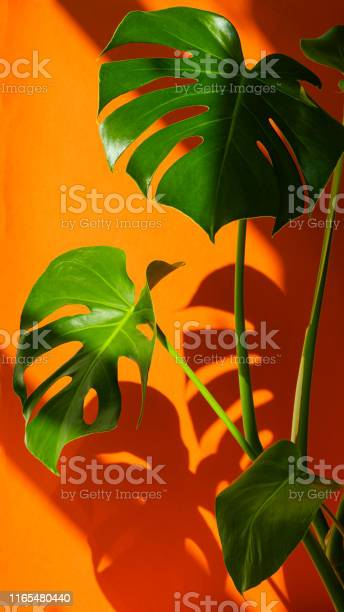 Monstera in the sun beautiful combination of colors green white of picture id1165480440?b=1&k=6&m=1165480440&s=612x612&h=i1e5up0bgz95zursazpxyytrzgnv6hj19 hlg9l5c7m=