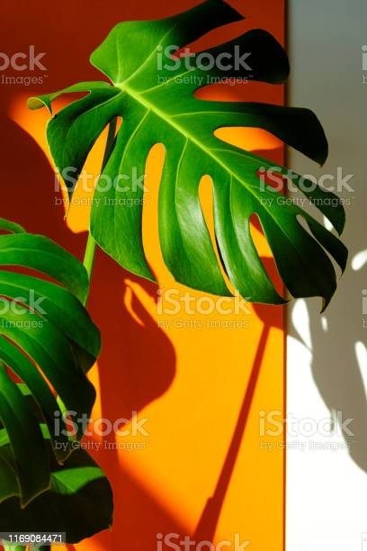 Monstera in the sun beautiful combination of colors green white of picture id1169084471?b=1&k=6&m=1169084471&s=612x612&h=nklpozjagfb4dhz4panxdgmsvgofekdb65xtps bluo=
