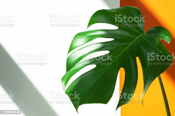 Monstera in the sun beautiful combination of colors green white of picture id1169084546?b=1&k=6&m=1169084546&s=612x612&h=mntzphqwyr3ya1m zl9yk3imtcflk6goey2qqo3hwn0=