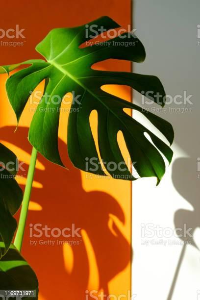 Monstera in the sun beautiful combination of colors green white of picture id1169731971?b=1&k=6&m=1169731971&s=612x612&h=lu3gfji3 9igncj3phxvganzlswrglxxskocfut5mk0=