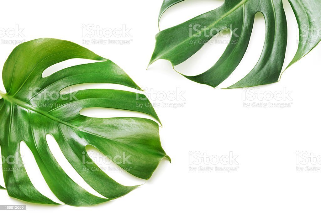 Monstera isolated on white stock photo