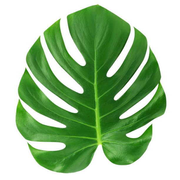 monstera großes blatt isoliert. grünen dschungel blatt einzigartigen tropischen design muster weißer hintergrund, mit beschneidungspfad. - blumendrucktapete stock-fotos und bilder