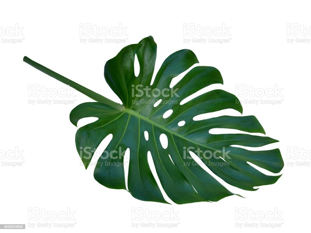 Monstera large tropical leaf, Swiss Cheese Plant, isolated on white background stock photo