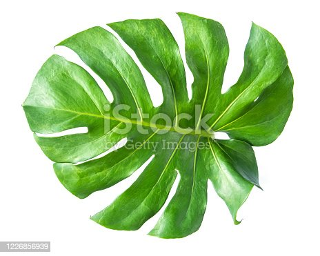 1146114680 istock photo Monstera leaf isolated on white background. 1226856939