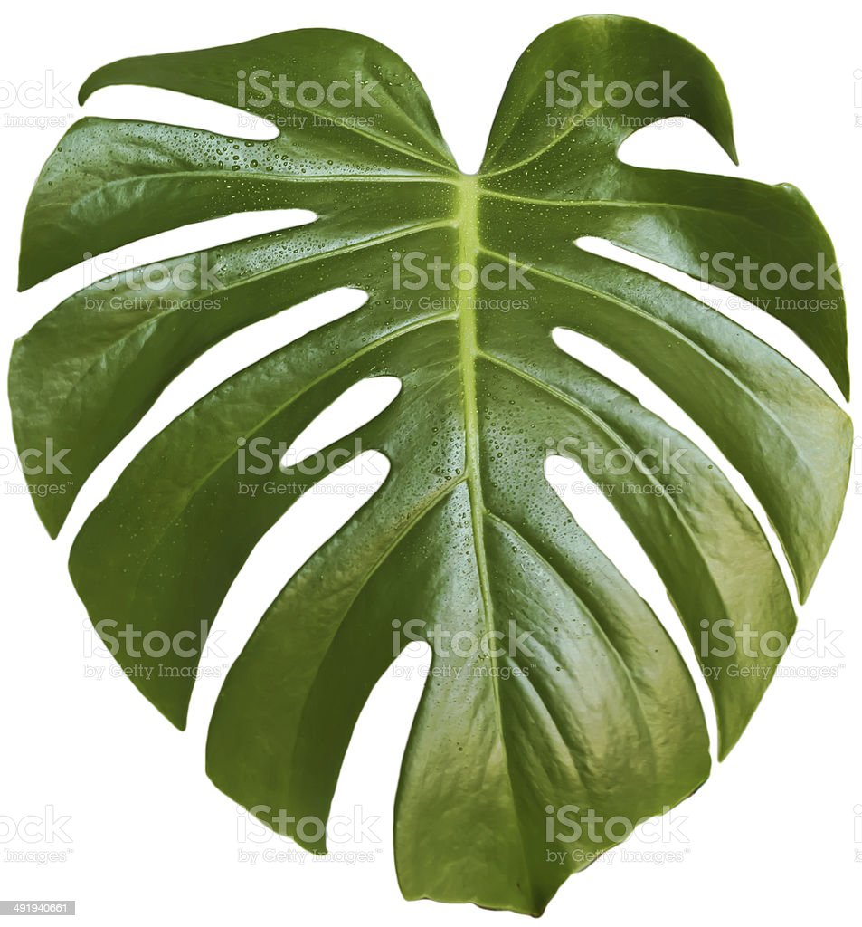 monstera leaf stock photo