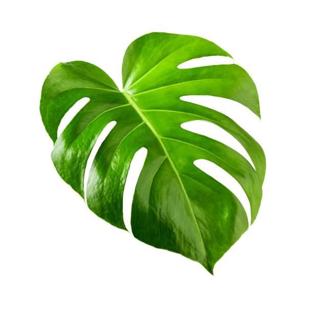 龜背竹葉 - 熱帶式樣 個照片及圖片檔