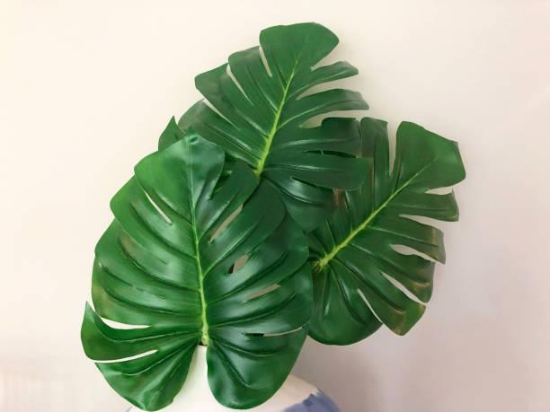 Monstera Leaf Plant – Foto
