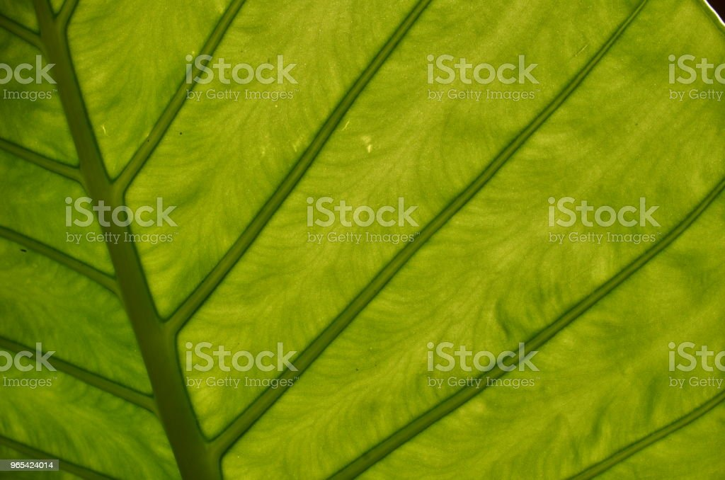 Monstera leaf veins closeup royalty-free stock photo