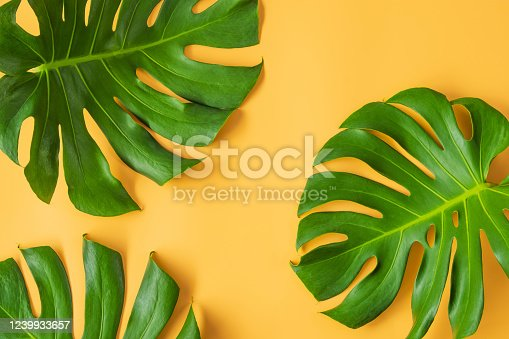 1145104190 istock photo Monstera leafs lay on orange background. 1239933657