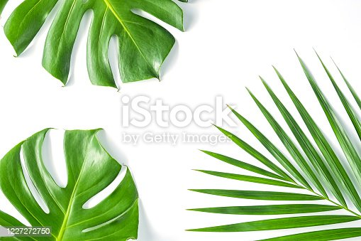 1145104190 istock photo Monstera leafs lay on white background. 1227272750