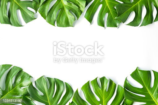 1145104190 istock photo Monstera leafs lay on white background. 1234513192