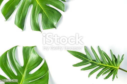 1145104190 istock photo Monstera leafs lay on white background. 1239934223