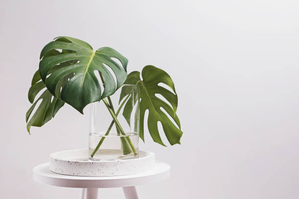 Monstera leaves in a glass vase over the white wall. stock photo