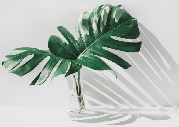 Monstera leaves in glass jug with sunlight and long shadow on wall stock photo