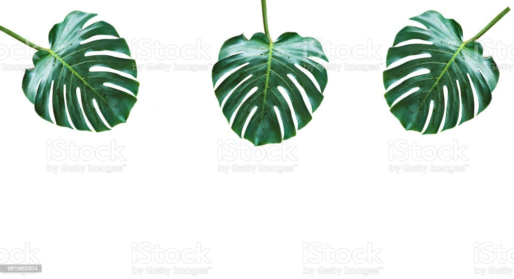 Monstera leaves isolated on white background stock photo