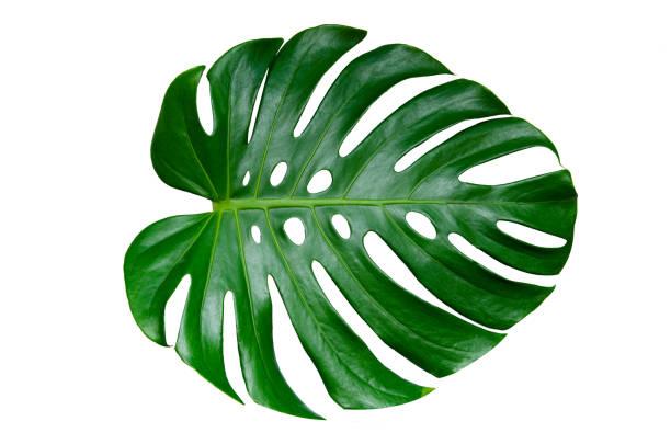 monstera leaves com isolado no fundo branco folhas em branco - monstera - fotografias e filmes do acervo