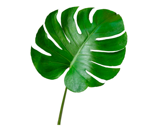 Monstera leaves leaves with Isolate on white background Leaves on white stock photo