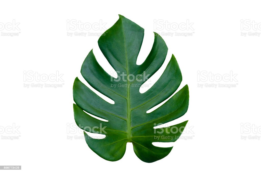Monstera leaves leaves with Isolate on white background Leaves on white - Royalty-free Beleza Foto de stock