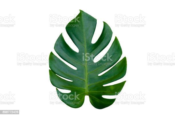 Monstera leaves leaves with isolate on white background leaves on picture id898773426?b=1&k=6&m=898773426&s=612x612&h=hgpnsssmvpaksxtaoh57ocr8v 6rvbbqojszw i5rko=