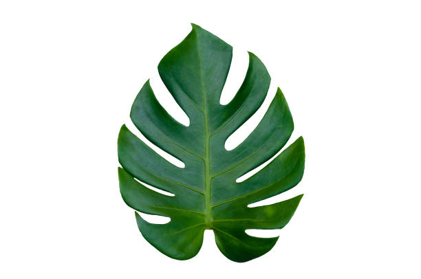 monstera leaves leaves with isolate on white background leaves on white - leaf imagens e fotografias de stock