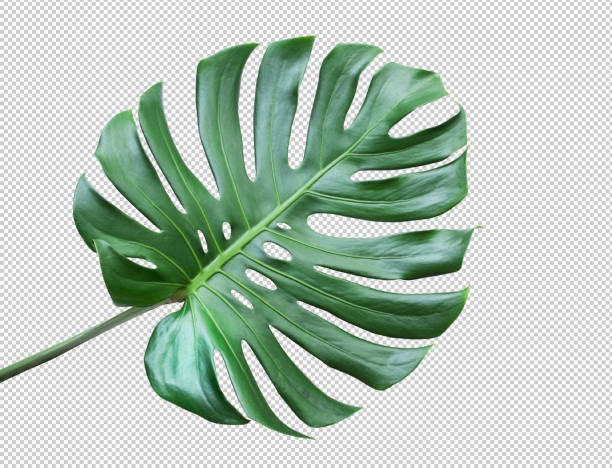 Monstera leaves on white background.Tropical,botanical nature concepts ideas.flat lay.clipping path Real monstera leaves on white background.Tropical,botanical nature concepts ideas.flat lay.clipping path tropical climate stock pictures, royalty-free photos & images