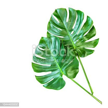 Monstera leaves isolated on white background. Tropical exotic plant