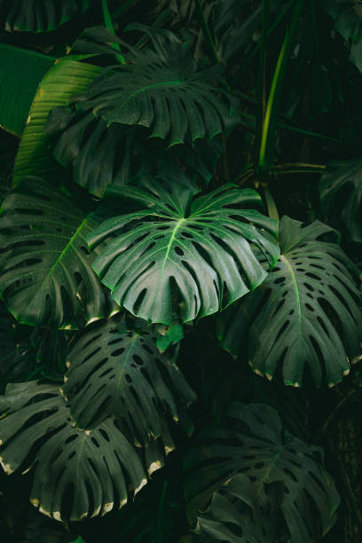Monstera palm leaves background. The concept of tropics nature. stock photo