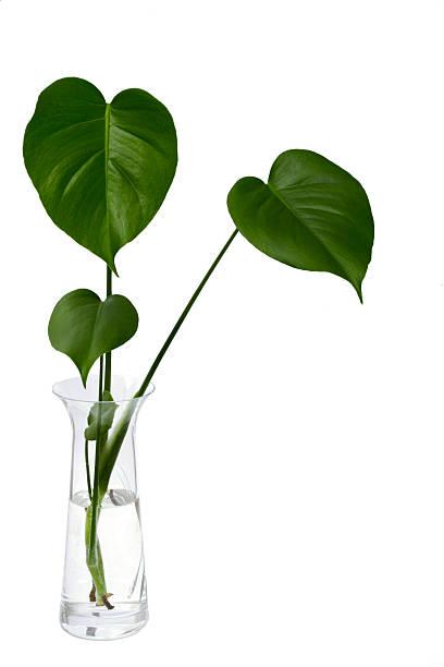 monstera - vase glas stock-fotos und bilder