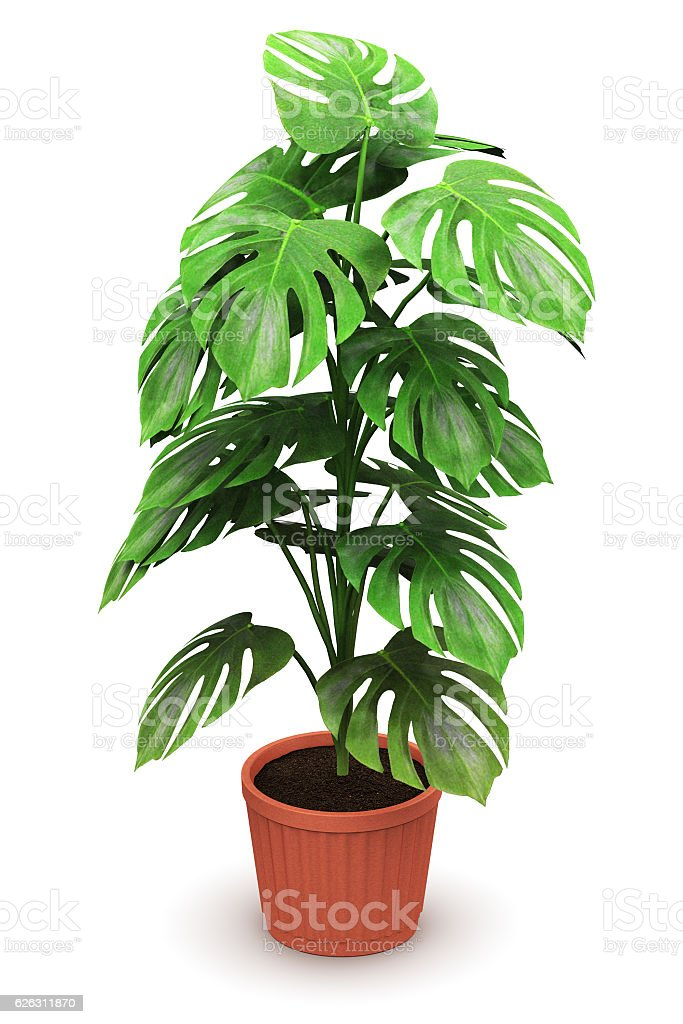 Monstera plant in flower pot stock photo