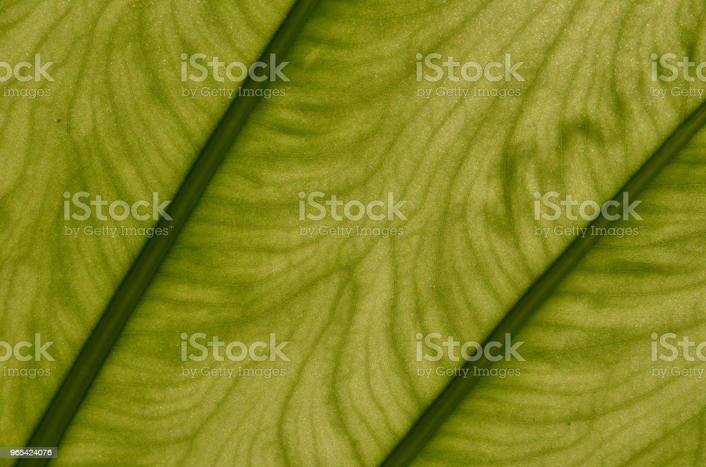 Monstera plante feuille closeup - Photo de Abstrait libre de droits