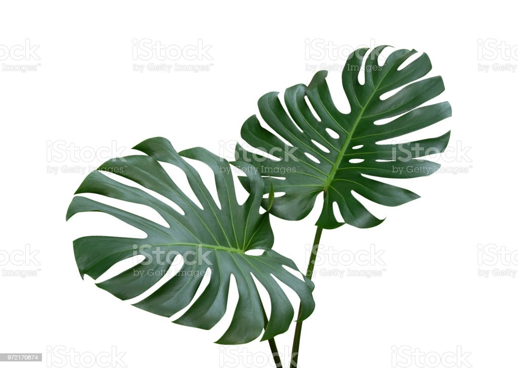 Monstera plant leaves, the tropical evergreen vine isolated on white background, clipping path included stock photo