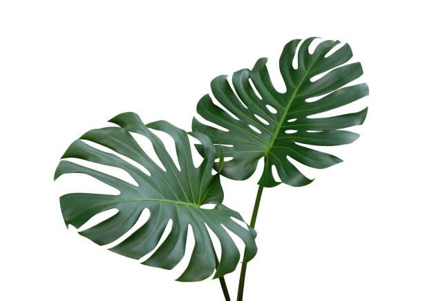 folhas de monstera planta, a videira evergreen tropical isolada no fundo branco, recorte o caminho incluído - monstera - fotografias e filmes do acervo