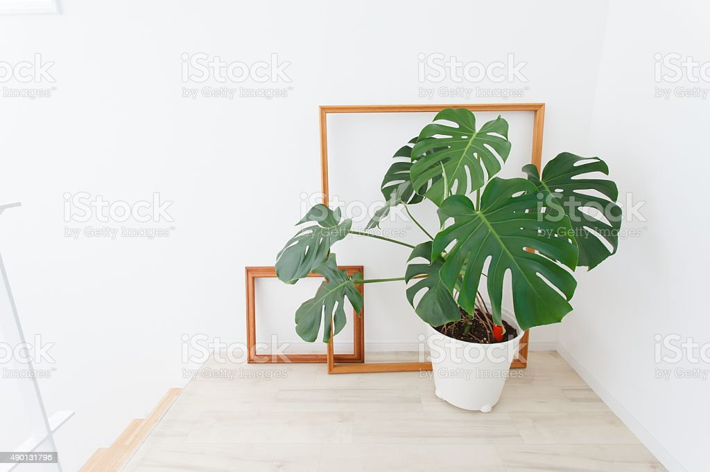 Monstera potted and the frame stock photo
