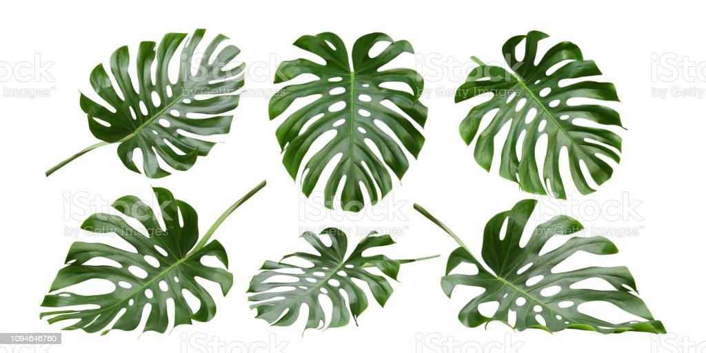 Monstera Tropical Leaves Swiss Cheese Plant Patterns Stock Photo Download Image Now Istock Discover 75 free tropical leaves png images with transparent backgrounds. monstera tropical leaves swiss cheese plant patterns stock photo download image now istock