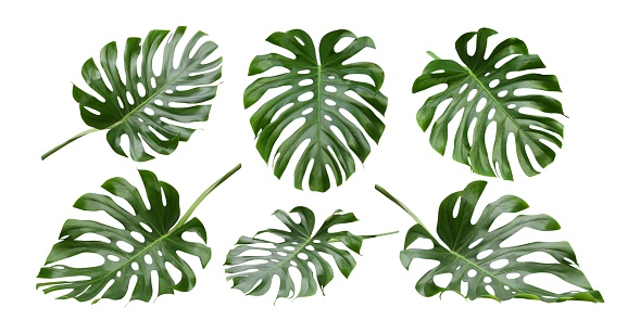 Monstera big leaves, tropical jungle foliage design patterns, Swiss Cheese Plant, isolated on white background