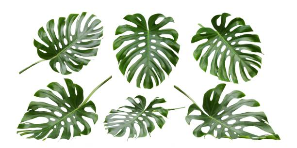 Monstera tropical leaves , Swiss Cheese Plant, patterns Monstera big leaves, tropical jungle foliage design patterns, Swiss Cheese Plant, isolated on white background tropical climate stock pictures, royalty-free photos & images