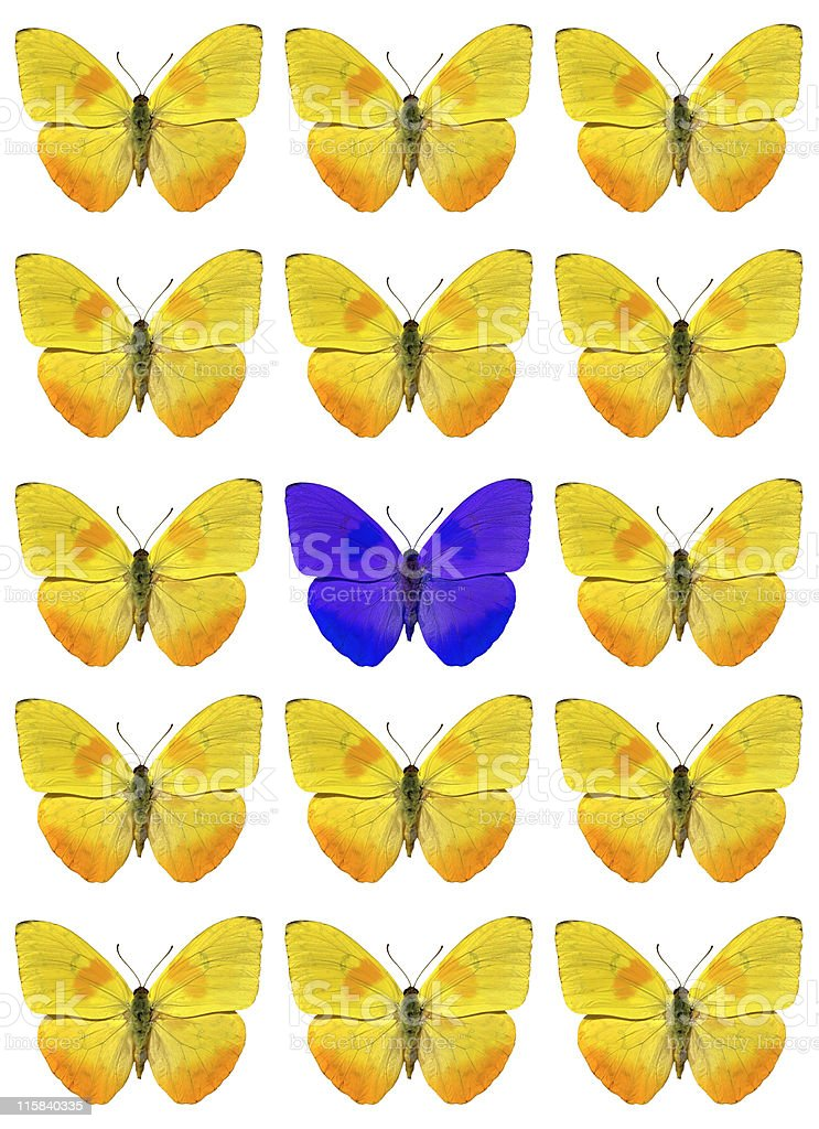 Montage of yellow butterflies with blue one in centre stock photo