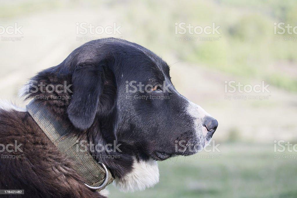 montain dog stock photo