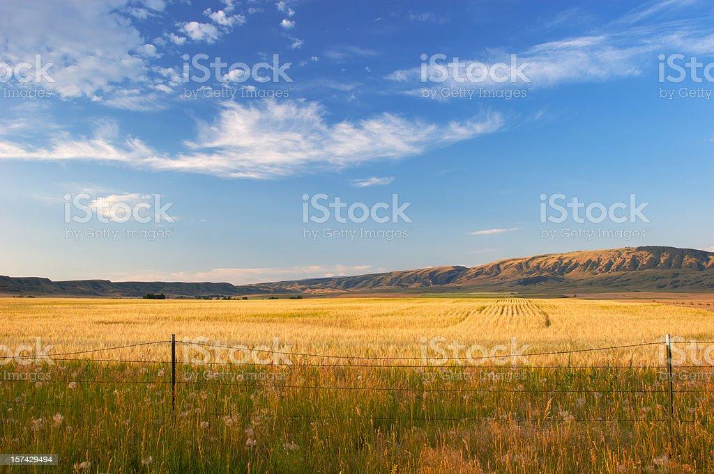 Montana Wheat Field stock photo