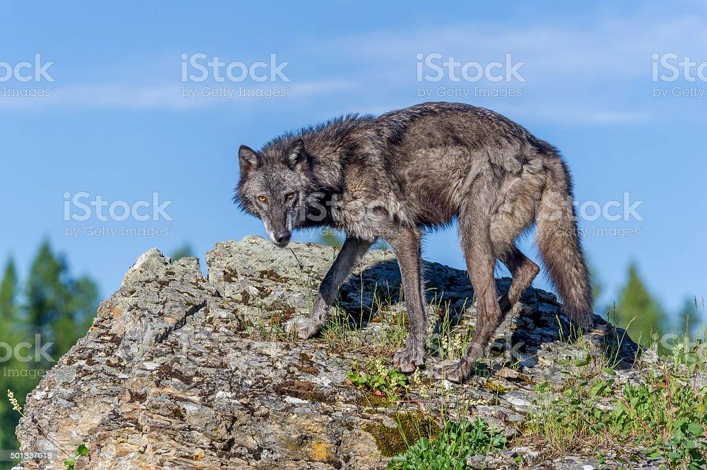 Montana Wolf royalty-free stock photo