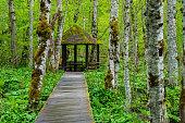 Montenegro, Biogradska gora national park wooden timber structure of ways over green swampland between birch trees to moss covered pavillon