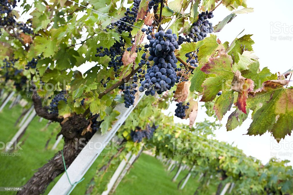 Montepulciano grapes in the vineyard royalty-free stock photo