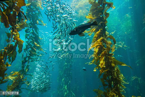 A kelp forest in Monterey Bay, California - July 2010