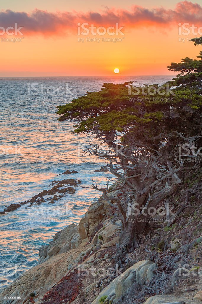 Monterey Cypress stock photo