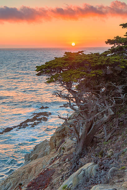 monterey cypress - central coast california stock photos and pictures