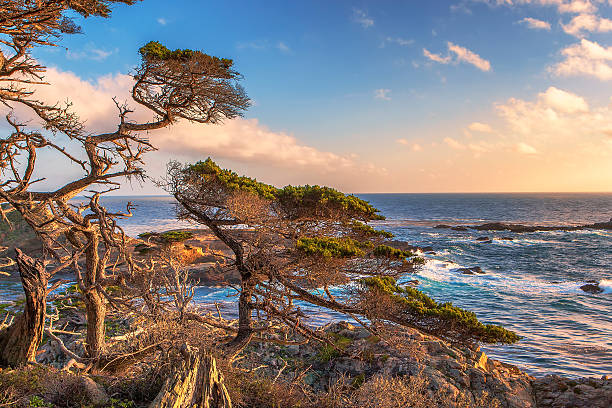 monterey cypress, point lobos state natural reserve - central coast california stock photos and pictures
