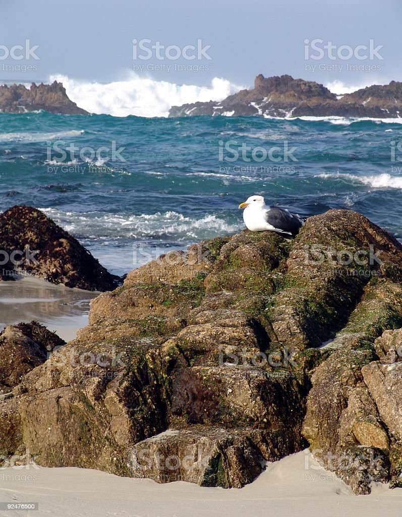 Monterey Möwe am rock Lizenzfreies stock-foto