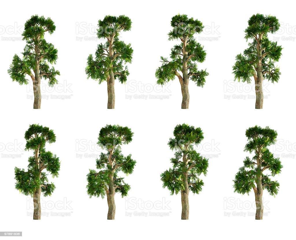 Montezuma Cypress Tree Collection royalty-free stock photo