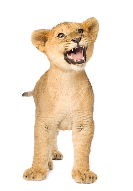 A 5 month old baby cub on a white background Lion Cub (5 months) in front of a white background. lion cub stock pictures, royalty-free photos & images